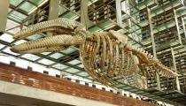 Gabriel Orozco, Mobile Matrix, 2006. Graphite on gray whale skeleton, Installation view at Biblioteca Vasconcelos, Mexico City, 2006. Courtesy of the artist and Marian Goodman Gallery, New York